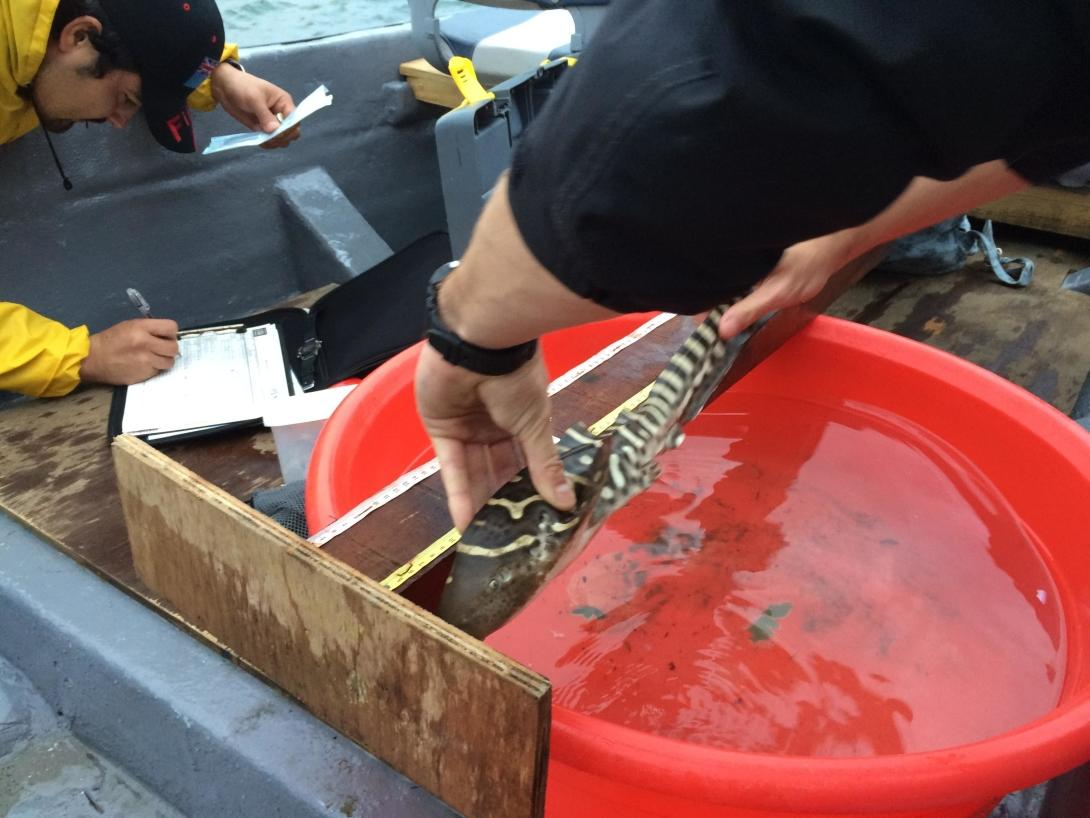 Shark Conservation lead scientist measures a juvenile zebra shark